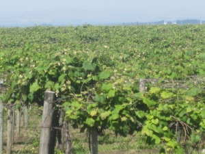 Vineyards 03