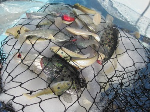 Fish in Net 05