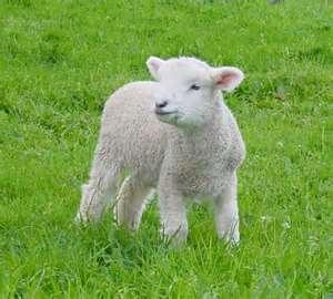 Lamb 03