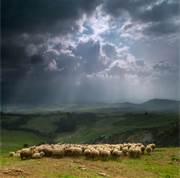 Sheep Storm