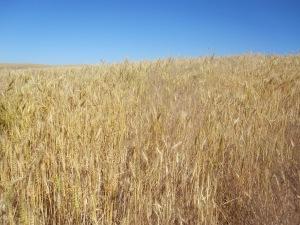 Wheat 05