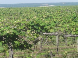 Vineyards 02